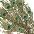 Peacock feathers- Pack of 10