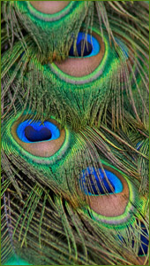 Peacock feathers at Creative Minds